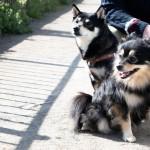 門前仲町 お江戸深川さくらまつり 犬連れ散歩