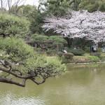 日比谷公園の桜 お花見ランチ