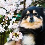 桜満開 朝の散歩